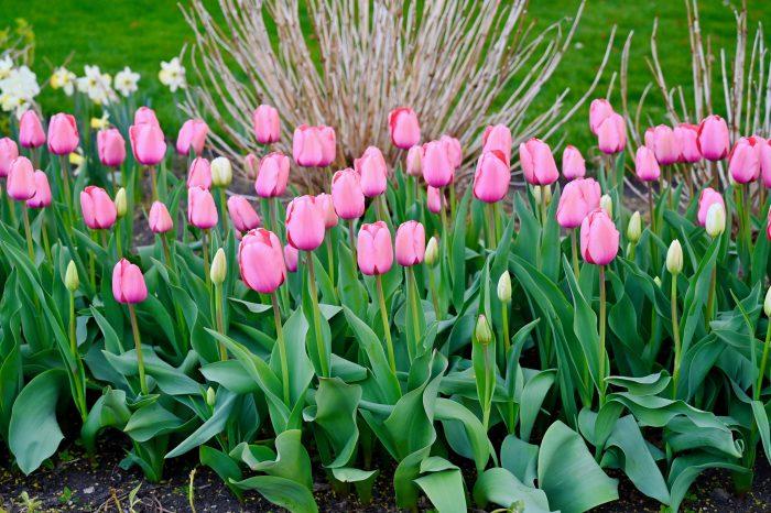 pink impression tulips