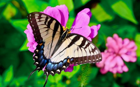 Swallowtail Tail Butterfly